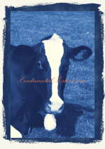 Cows long head blue