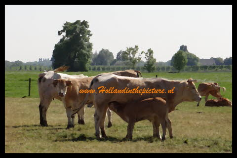 Koeien limousin in Hollands landschap oil zr HA 60 c hitp