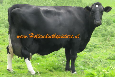 Zwartbonte top koe HA 9 d oil hitp