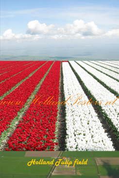 Holland tulipfield, background Holland aerial view