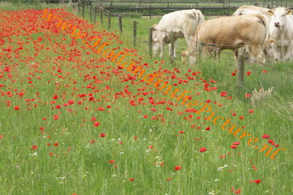 klaprozen en koeien Poppies and Cows (ha 110)