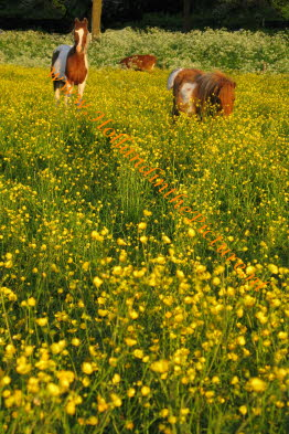 pony's in de wei met boterbloemen (ha 101) Ponies and buttercups